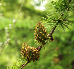 larch (Svet-ok) Tags: larch brunch лиственница шишки ветка хвоя дерево needles bumps cone макро