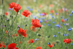 Flower Meadow, Acomb, York (Wilamoyo) Tags: poppies flowers red field garden nature beauty summer spring dof plants botany bokeh