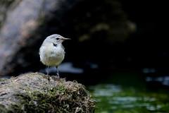 bergeronnette des ruisseaux ( Motacilla cinerea ) Brech 170614h2 (papé alain) Tags: oiseaux passereaux motacillidés bergeronnettedesruisseaux motacillacinerea brech morbihan bretagne france