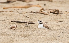 Dad watches baby's first steps (Photosuze) Tags: plovers snowyplovers chicks cage newborn hatchling birds avians aves animals nature wildlife shorebirds babies endangered