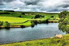 The ewe' s view (tina negus) Tags: baldersdale hury reservoir ewe sheep teesdale durham