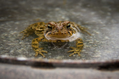 Toad in the birdbath (Shannon_Lund) Tags: toad water cute
