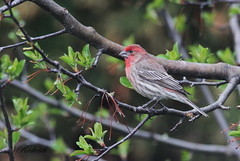 *** Roselin familier / house finch (ricketdi) Tags: bird roselin roselinfamilier housefinch haemorhousmexicanus coth5 ngc