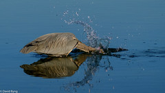 Great Blue Heron Striking! (david byng) Tags: esquimaltlagoon spring beach vancouverisland pacificocean heron canada britishcolumbia 2017 birds victoria ca