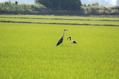 Heron & Ibis