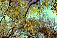 Winter arrives Autumn Leaves!!! (maginoz1) Tags: abstract landscape art manipulate curves winter trees bulla melbourne victoria australia june 2017 canon g3x