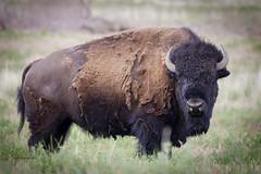 Bison (rickdunlap2) Tags: americanbison bison buffalo animal wildlife antelopeisland utah