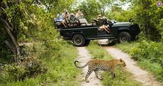 Safari in Africa (Travel Center UK) Tags: leopard wildlife adventure africa africanleopard safarijeep safariafrica tourist africanforest exploretheadventure travelcenteruk