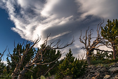 Gnarly wind (Bill Bowman) Tags: wind limberpines pinusflexilis niwotridge southernrockymountains colorado lenticularclouds