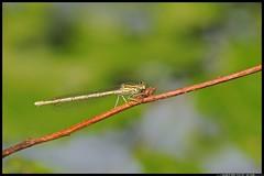 DSC_1192-06-08-1- Platicnemis pennipes femmina (r.zap) Tags: rzap parcodelticino platicnemispennipesfemmina