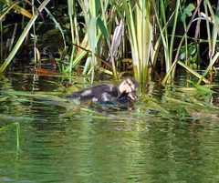 Hurry up (stuartcroy) Tags: orkney island duck duckling ducks diving mallard reflection sony scotland