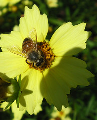 Hard at Work (Puzzler4879) Tags: insects bees honeybees insectsonflowers beesonflowers coreopsis coreopsisflowers yellow yellowflowers bayardcuttingarboretum bayardcuttingarboretumstatepark arboretums publicgardens newyorkstateparks a580 canona580 powershota580 powershot canonphotography canonaseries canonpointandshoot pointandshoot