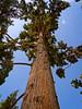 Cypress tree at Bagh-e Fin (Fin Garden), Kashan, Iran (CamelKW) Tags: 2017 iran isfahan kashan cypresstree baghefin fingarden