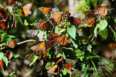 monarch butterfly sanctuary (ikarusmedia) Tags: monarch butterflies santuary ejido common el capulin oyamel tree national park donato huerra state mexico insect wings