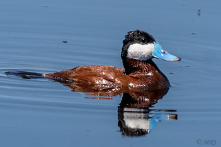 Ruddy Duck is a Real Standout