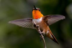 Ready To Fly (Robin-Wilson) Tags: rufoushummingbird selasphorusrufus gorgetdisplay male tenacious feeder gaurding takingflight colorado wildlife tiny fast acrobatic onefoot