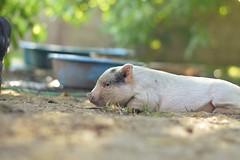 Sleeping pig (sgt.fury) Tags: pigs animals potbellied pig farm farmers