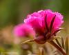 Portulaca Grandiflora - AKA 10:00 AM Flower (Mohammed Qamheya) Tags: nikon d7000 d7k nikkor afsmicronikkor600mmf28ged 600mm f80 1160s iso100 portulacagrandiflora 1000amflower flora qatar micro 7dwf fridaysflora manualmode