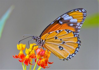 Danaus chrysippus on tropical milkweed (expand to see the texture of the wings)