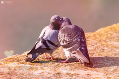 Come here baby (technodean2000) Tags: pigeon kiss groom peck bird love nikon d610 lightroom uk sigma 70200mm