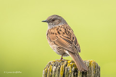 Dunnock D50_9731.jpg (Mobile Lynn) Tags: dunnock birds nature wild bird fauna passerine prunellamodularis wildlife peterborough england unitedkingdom gb coth specanimal ngc coth5 sunrays5 npc