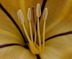 ...even the smallest part of a flower is beautiful (allyndon) Tags: gold california sandiego stamen purple yellow flower macro 7dwf cmwd flowers garden