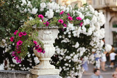 White oleander (Shahrazad_84) Tags: oleander flora floral flowers taormina sicily beauty cosy italy