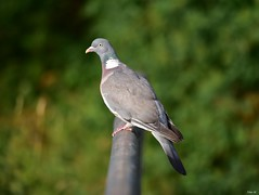 Common Wood pigeon (Nina_Ali) Tags: pigeon bird july2017 leicester england nikond5500 depthoffield