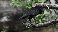 Corvid Saatkrähe (gregor_f.) Tags: corvidae krähe rabenvogel saalfelden salzburg pinzgau vogel aves
