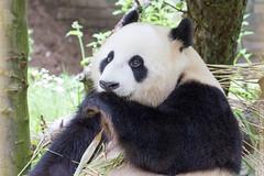 IMG_0433.jpg (wfvanvalkenburg) Tags: ouwehandsdierenpark panda familie