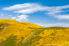 Hillside Daisy Covered Hills in the Temblor Range Above Carrizo (Gary Rides Bikes) Tags: california northamerica sanluisobispocounty springtime temblorrange usa beautyinnature day goldcolored hill idyllic inbloom landscape nature nopeople plain rollinglandscape scenicsnature sky vibrantcolor yellow