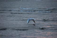 gabbiano vola sopra il mare a Caorle (Nic lai) Tags: caorle italia amanecer gabiota mar sobrevolar gabbiano mare