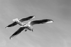 Gulls (Miles Frankland) Tags: beautiful art blackandwhite color abstract bandw bw fisheye abstracto hdr macro bnw amazing monoart black macrophotography minimalism white flies macrofairies macrogardener entomology bugs insectgr insect macroinsect naturelovers bugslife favmacro nature milesfrankland milesstephencouk photography insects fly seagull gulls england south coast sea side ocean building church cathedral portsmouth colour vibrant dog mud bulldog terrier jack russell cats nikon cannon d3200 speedlight herron hyde park london stalk legs illusion miles interest optical winchester southern