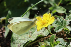 Commonly Beautiful (raggi di sole) Tags: england stainesmoor nature smallwhite butterfly insect lepidoptera pieridae pierisrapae white flower yellow