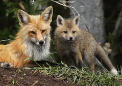 Momma fox with one of her kits (Guy Lichter Photography - 3.5M views Thank you) Tags: kit female redfox fox mammal mammals animals animal wildlife manitoba canada 5d3 canon