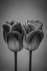 Lovers (Anthony P26) Tags: category eskisehir flora places turkey yunusemrecampus tulips flowers plants gardenplant petals stems blackandwhite blackwhite whiteandblack monochrome grey lovers couple pair two twin canon canon70d sigma105mmmacro outdoor
