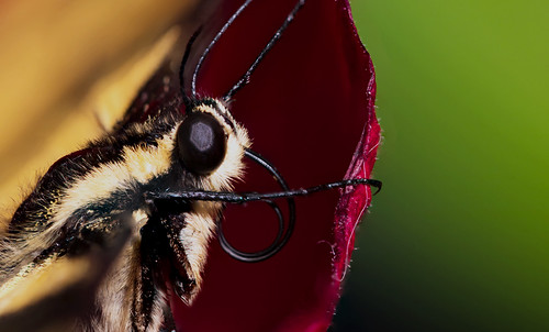 macrophotography macro butterfly swallowtail insect nature