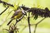 Social Flycatcher, Myiozetetes similis. (jwsteffelaar) Tags: socialflycatcher myiozetetessimilis taxonomy:binomial=myiozetetessimilis