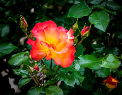 Rose (randyherring) Tags: ca california spring elkgrove rose nature flowers afternoon springflowers outdoor bloom neighborhood flora suburban unitedstates us