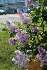 e perce lilacs in july (Simon -n- Kathy) Tags: gaspe qc quebec canada perce