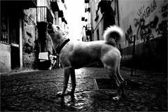 na_044 (la_imagen) Tags: quartierispagnoli naples napoli neapel italy italia italien italya sw bw blackandwhite siyahbeyaz monochrome street streetandsituation sokak streetlife streetphotography strasenfotografieistkeinverbrechen dog köpek hund