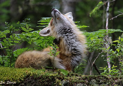 Red Fox (Old Patriarch) (Sue D Sharpe) Tags: fox redfox patriarch male old scratching algonquinpark ontario