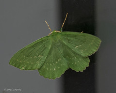 Emerald Moth (Paul Rayney) Tags: moth butterfly bug insect green emerald close up macro nikond7100sigma105