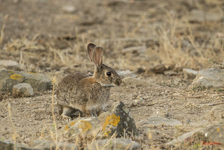 Coelho-europeu ou Coelho-bravo | Wild Rabbit | Conejo de Monte | Lapin Sauvage | Coniglio Selvatico | Oryctolagus cuniculus