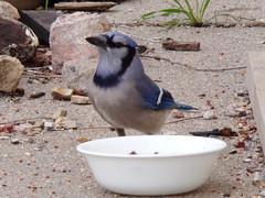Blue jay (Cyanocitta cristata) drinking water (tigerbeatlefreak) Tags: blue jay cyanocitta cristata corvidae bird nebraska