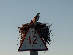 _B220416.jpg (4x4prints) Tags: osprey fisheagle hawksea hawkhawkbird preyraptorpandion haliaetus bird birds feather feathers ocean gulf sea beach shore