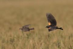 rwbl-sy-f-sy-m-easterncimarronco-6-10-17-tl-01-cropscreen (pomarinejaeger) Tags: keyes oklahoma unitedstates bird redwingedblackbird agelaiusphoeniceus