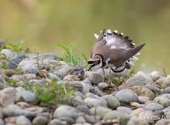 Entre-nous.. (Régis B 31) Tags: charadriidés charadriiformes charadriusdubius littleringedplover petitgravelot ariège bird domainedesoiseaux mazères oiseau