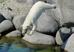 ...aaand...jump! (BrigitteE1) Tags: andjump wildlandsadventurezooemmen lale polarbear eisbär ijsbeer specanimal emmen netherlands sprung ursusmaritimus