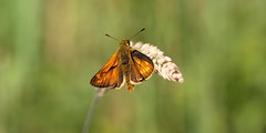"""""""Ochlodes sylvanus"""" - groot dikkopje (bugman11) Tags: grootdikkopje butterfly butterflies bug bugs ochlodessylvanus insect insects animal animals fauna nature canon nederland thenetherlands boxtel bokeh macro 100mm28lmacro 1001nights 1001nightsmagiccity contactgroups"""